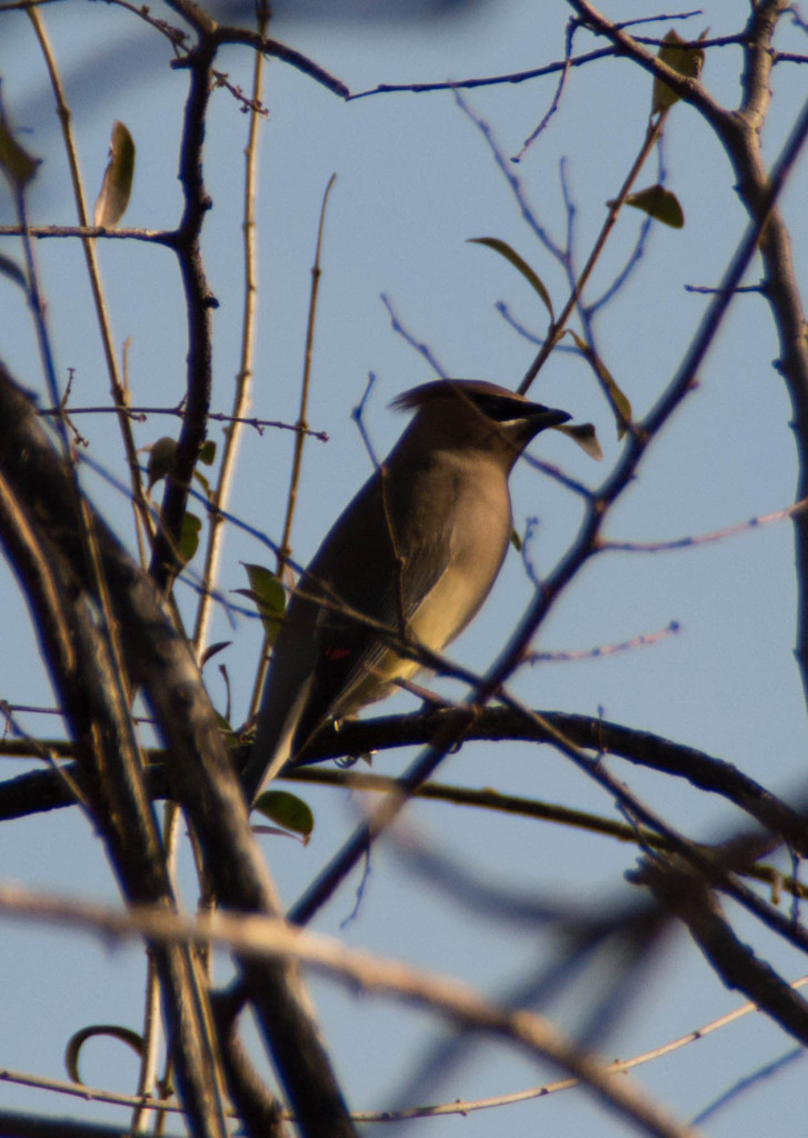 Cedar Waxwing at Hafer Park
